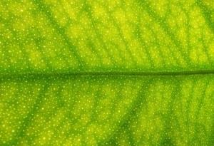 leaf_h5sBv_5638-300x2131