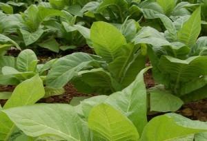 tobacco-plants_jiTLj_69-300x2061