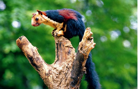 kerala-wildlife-squirell