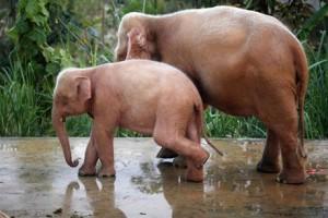 Myanmar_Elephants