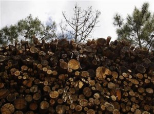 A dead wild pine tree is seen behind a pile of eucalyptus logs in Arganil, central Portugal