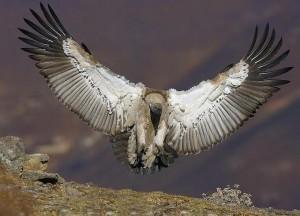 Bearded_Vulture