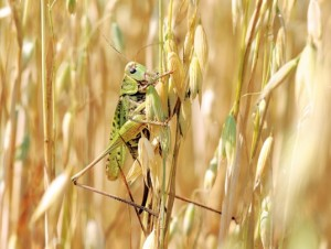 locust-agriculture-pest-537x405