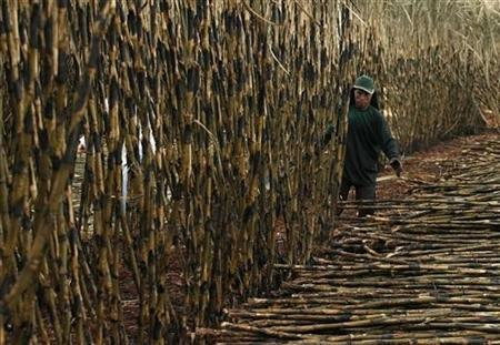 A worker cuts sugar cane for sugar and ethanol production