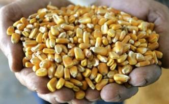 Corn-460x276
