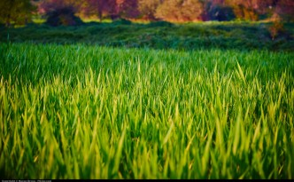 Biofuel crops (carbon neutral-ish) replacing natural grasslands (carbon sequestering) not such a good thing?