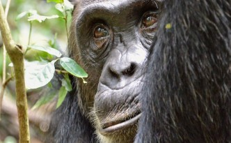 Jane Goodall chimpanzees