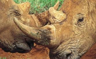 rhino-fusion