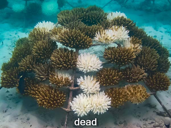 coral reefs threatened by irreversible massive loss due to